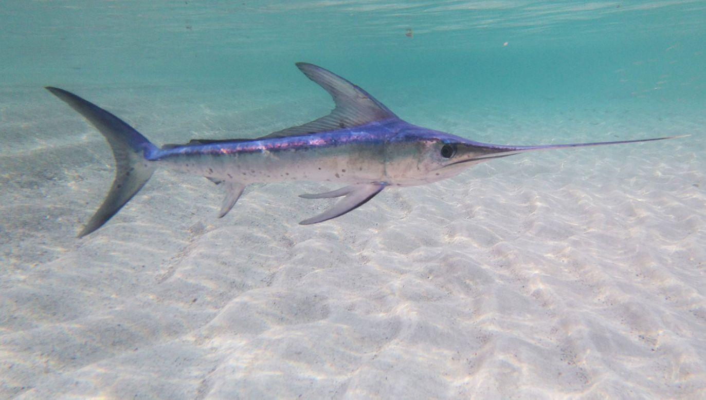 Miecznik miał znaleźć się blisko brzegu, ponieważ próbował znaleźć miejsce do rozmnażania (fot. Shutterstock/Marcutti)