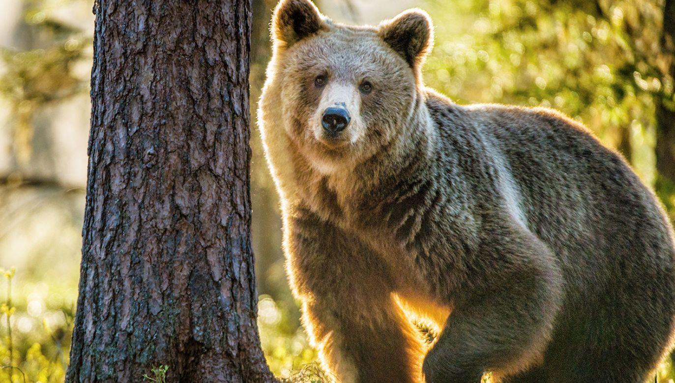 Trwa dochodzenie ws. odstrzału niedźwiedzia w Rumunii (fot. Shutterstock)