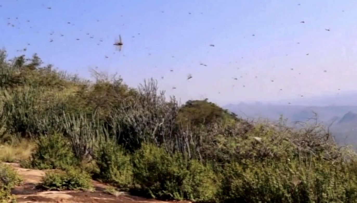 Eksperci FAO zapowiadają, że działania przeciwko inwazji szarańczy potrwają co najmniej do przyszłego roku (fot. FAO)